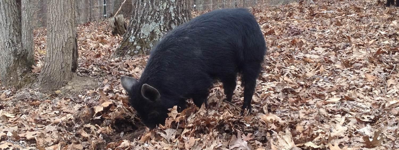 Gourmet Pork from American Guinea Hogs