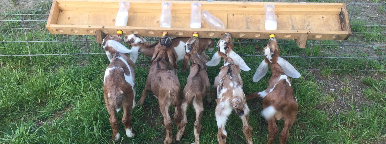 Baby Goats! (& Raw Goats